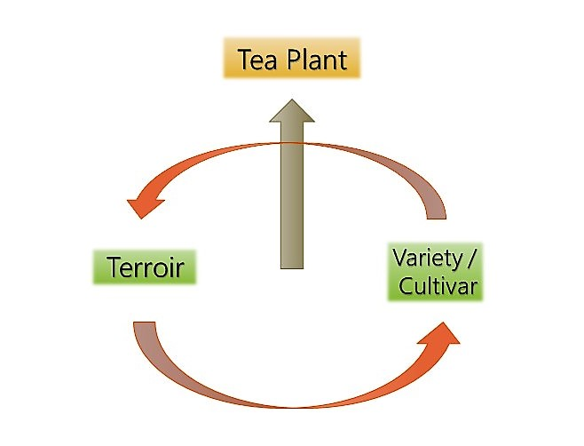 Terroir + Cultivar = Tea Plant
