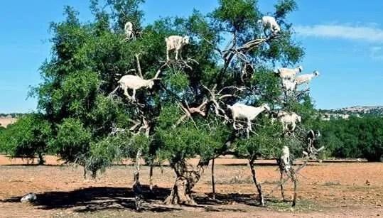argan oil tree