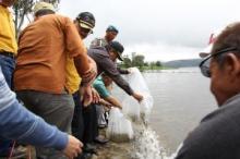 Jaga Ekosistem, Bupati Lepas Bibit Ikan Nilem di Danau Diatas