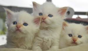 Siberian Cats of Kywy's -3 Neva Kitten November 2015