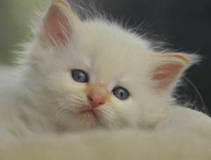 Siberian Cats of Kywy's -Neva Kitten November 2015