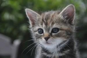 tabby-kitten2