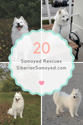 find-a-samoyed-breeder-1