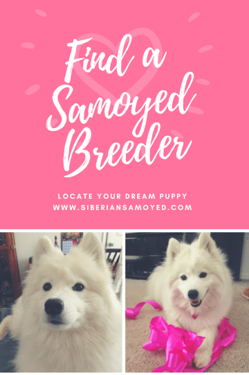 find-a-samoyed-breeder