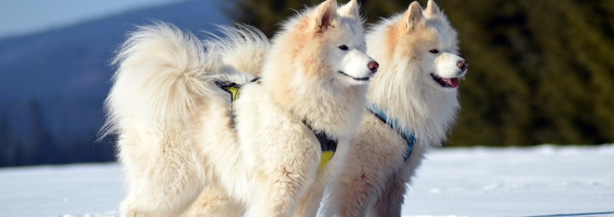 Is the Samoyed Hypoallergenic?