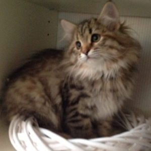Xtravia - Siberian cat for sale