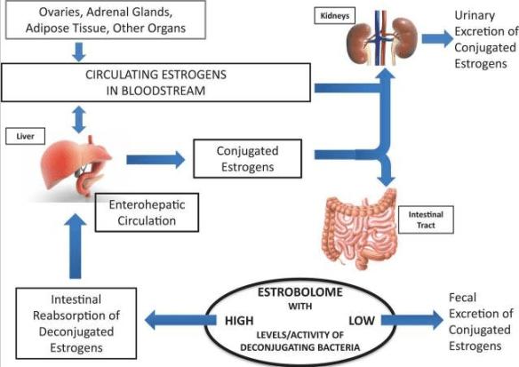 Beta-glucoronidase