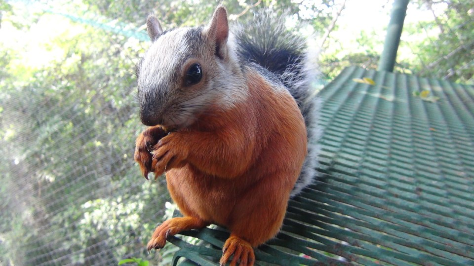 variegated-squirrel