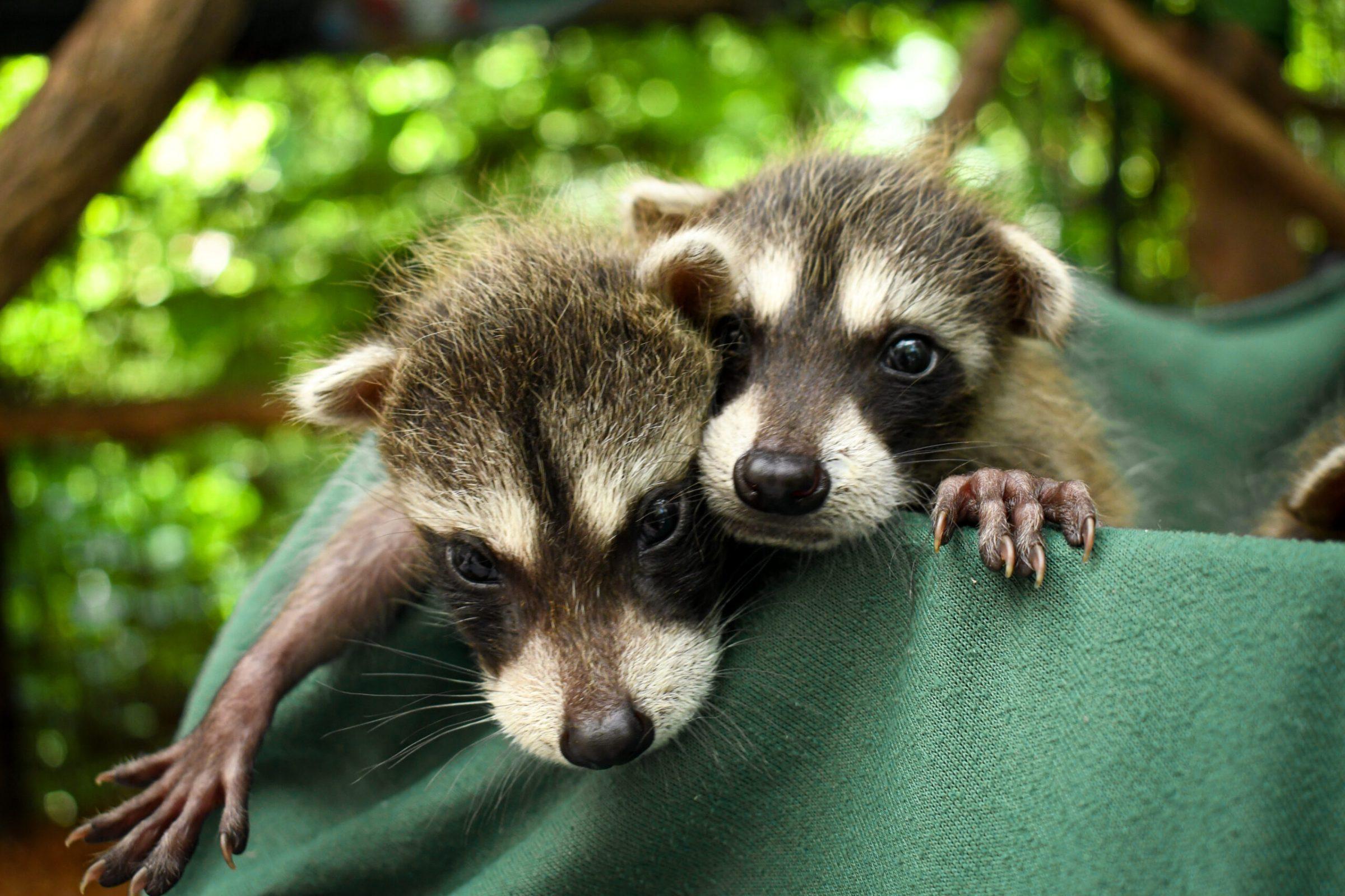 cute baby raccoons adoption rehabilitation rescue