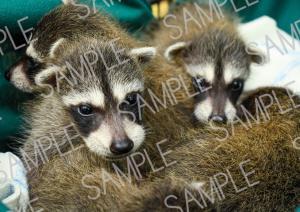 cute baby raccoons rehabilitation