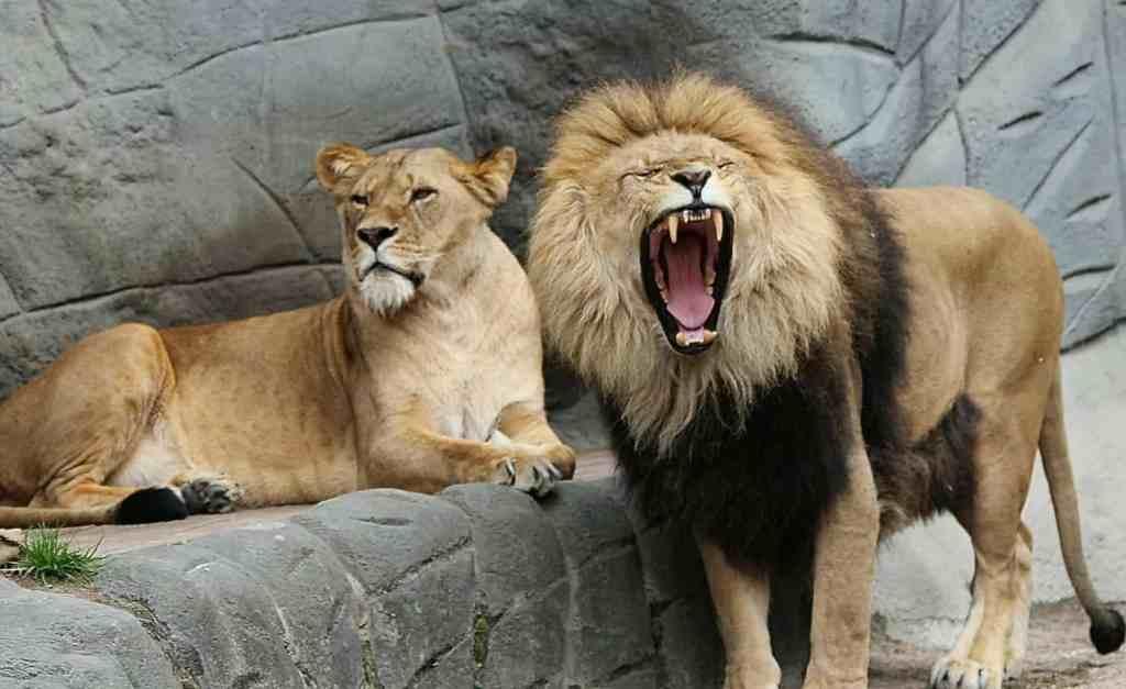 Stark wie ein Löwe