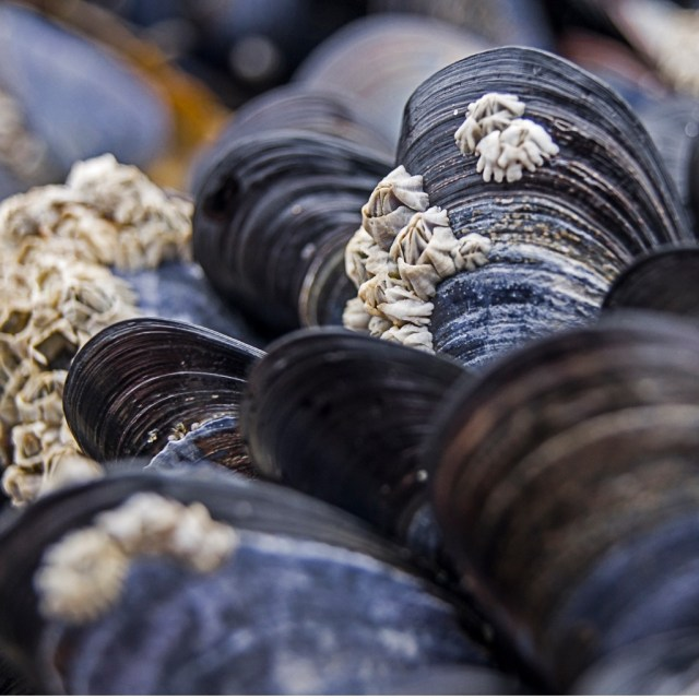 mussels-at-the-beach-picture-id627559422