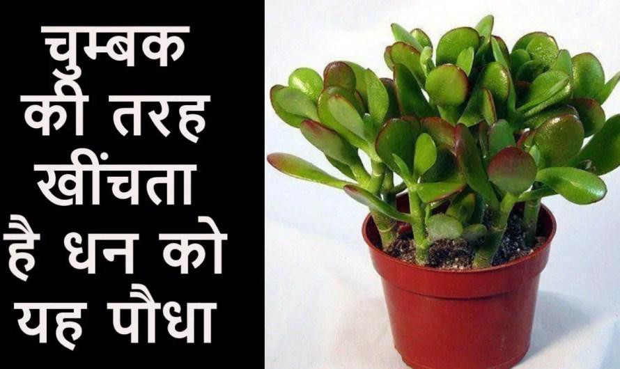 क्रासुला का पौधा के लाभ जानिए. धन की वृद्धि के लिए सबसे शक्तिशाली पौधा.