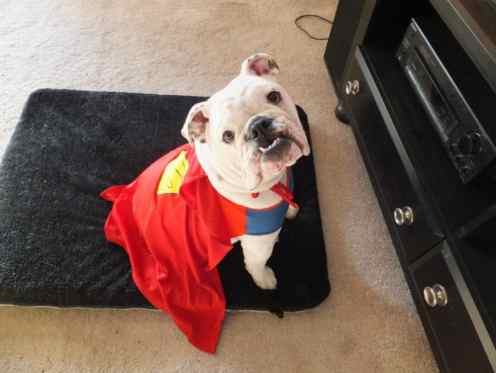 Bulldog Gus Super Dog