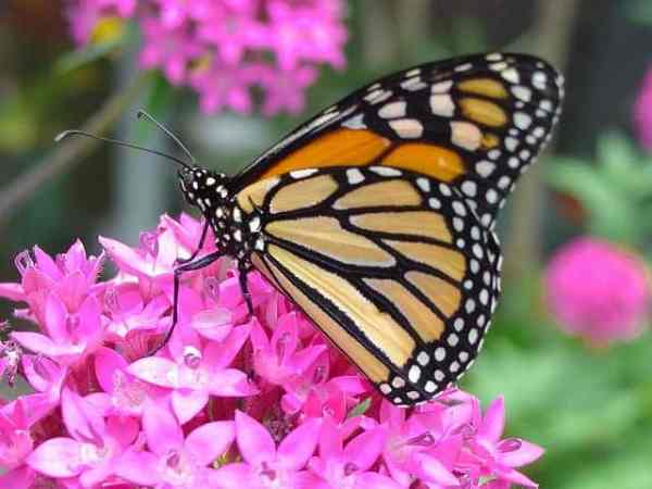 Monarch butterfly on pink milkweed