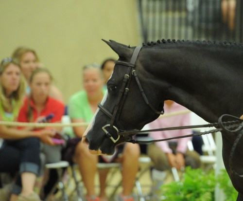 A beautiful pony takes part in the Pony Finals auction, presented by Flashpoint Bloodstock. Photo by L. A. Brown Photography