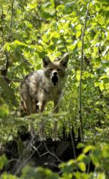 A Coyote Warning
