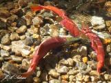 Kokanee Salmon pair