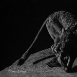 """On The Prowl"", Derwent Chinese White pencil on black paper, 6""x9"", by Sidney Eileen"