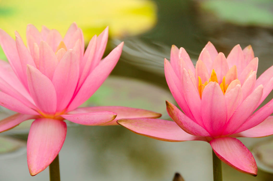 Close up of two pink water lilies