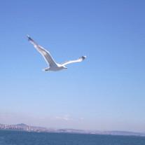 seagul-flying3