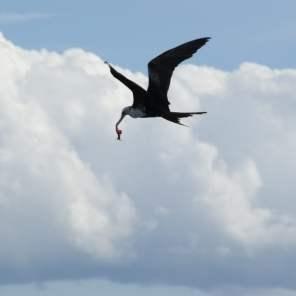 Der Pelikan hat die Fischabfälle erbeutet Bay Road