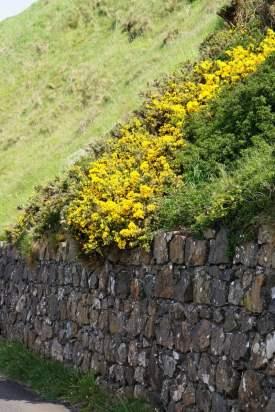 Ginster blüht am Wegesrand Giants Causeway