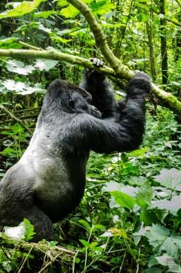 congorwanda-9511 - Aux pays des gorilles, le Congo et le Rwanda - rwanda, destinations, congo, afrique, a-faire