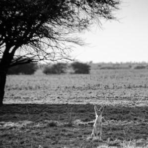 fennec grandes oreilles - Reserve naturelle du central Kalahari - Botswana… La nature a l etat pur! - afrique, botswana