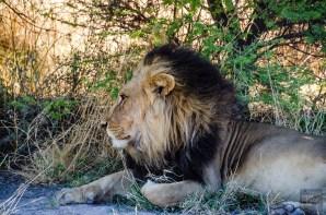 lion male criniere noire - Reserve naturelle du central Kalahari - Botswana… La nature a l etat pur! - afrique, botswana