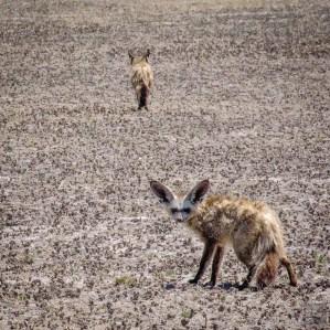 renard a oreille de chauve souris 2 - Reserve naturelle du central Kalahari - Botswana… La nature a l etat pur! - afrique, botswana