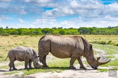 rhinoceros mere bebe - Sanctuaire de rhinoceros de Khama - Botswana… La nature a l etat pur! - afrique, botswana