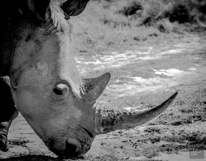 rhinoceros noir et blanc corne - Sanctuaire de rhinoceros de Khama - Botswana… La nature a l etat pur! - afrique, botswana
