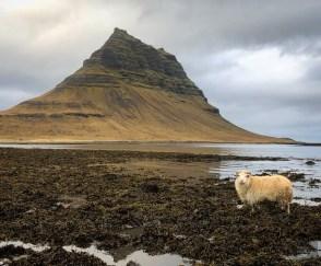 mouton mer montagne - La péninsule de Snaefellsnes et Borgarnes - Islande en 8 jours - Islande, Europe