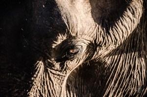elephant œil - Elephants, crocodiles et paons - Sri Lanka, au cœur de l ile - Asie, Sri Lanka
