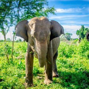 elephant - Elephants, crocodiles et paons - Sri Lanka, au cœur de l ile - Asie, Sri Lanka