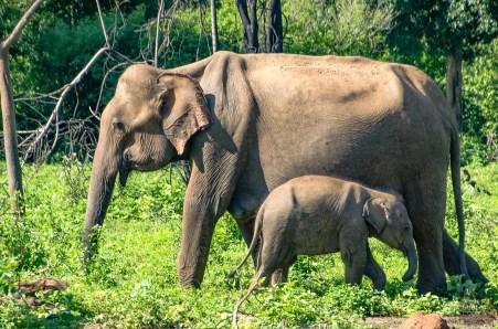 elephant mere et bebe - Elephants, crocodiles et paons - Sri Lanka, au cœur de l ile - Asie, Sri Lanka