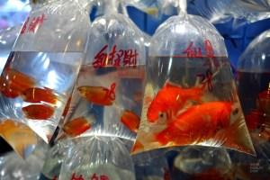 Goldfish market - Les nombreux marchés - Séjour à Hong Kong - Asie, Chine