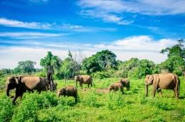 troupeau elephants - Elephants, crocodiles et paons - Sri Lanka, au cœur de l ile - Asie, Sri Lanka