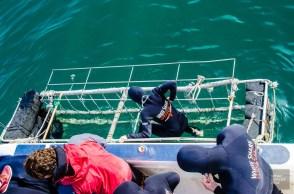 embarque cage - face-a-face avec un grand requin blanc - Dose d'adrénaline en Afrique du Sud - Afrique, Afrique du Sud