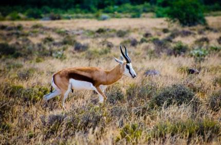 gazelle - randonnee en montagne - Dose d adrenaline en Afrique du Sud - Afrique, Afrique du Sud