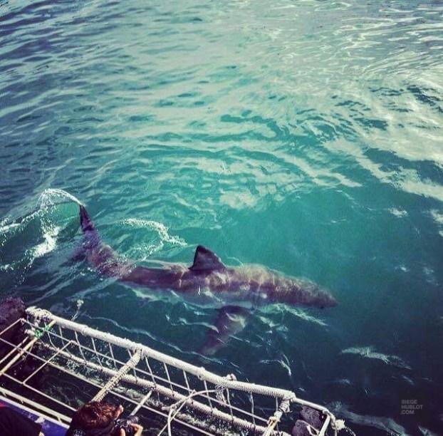 requin blanc vu de haut - face-a-face avec un grand requin blanc - Dose d'adrénaline en Afrique du Sud - Afrique, Afrique du Sud
