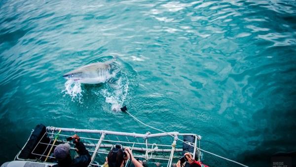 requin et cage - face-a-face avec un grand requin blanc - Dose d'adrénaline en Afrique du Sud - Afrique, Afrique du Sud