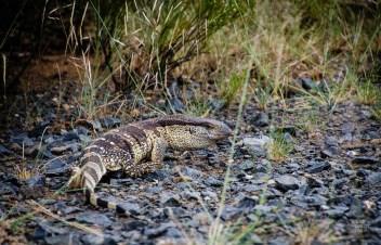 varan - randonnee en montagne - Dose d adrenaline en Afrique du Sud - Afrique, Afrique du Sud