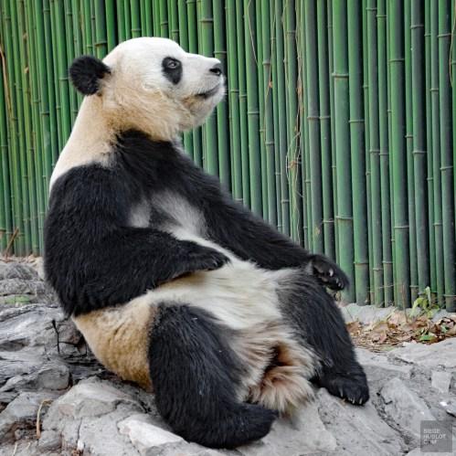 Panda assis - Beijing - La Grande Muraille de Chine, un lieu mythique - Asie, Chine