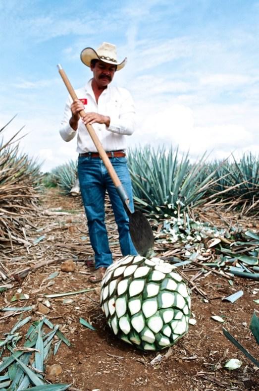 Cultivateur à Tequila - Spécialités de la ville - Tout ça à Guadalajara - Destination, Amérique du Nord, Mexique