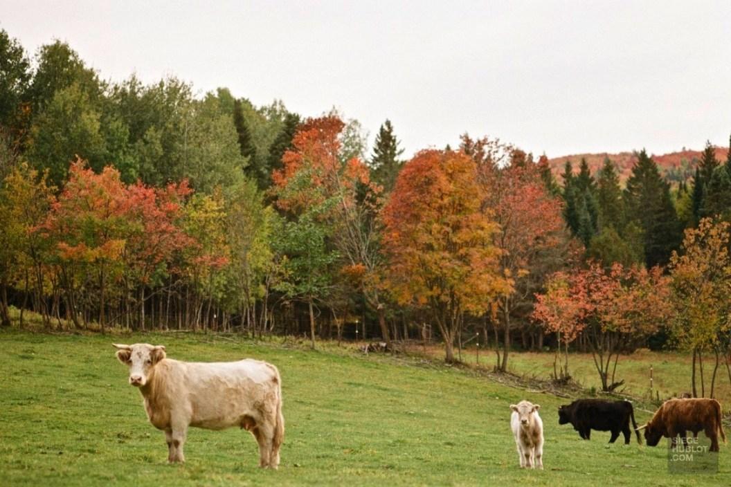 Les vaches écossaises - Frampton Brasse - Balade en Beauce - Amérique du Nord, Canada, Québec, Chaudière-Appalaches