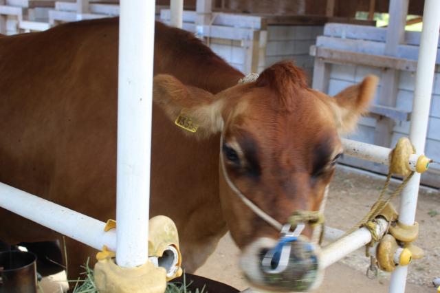 イバライドの牛