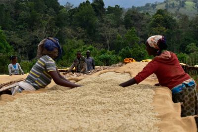 Drying and inspection of Ethiopian beans