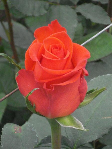 Rose Santana - Rose Standard - Roses - Fleurs par catégorie | Sierra Flower  Finder
